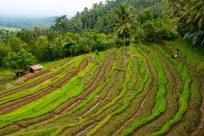Indonesia_Bali_BukitJambul_RiceTerraces